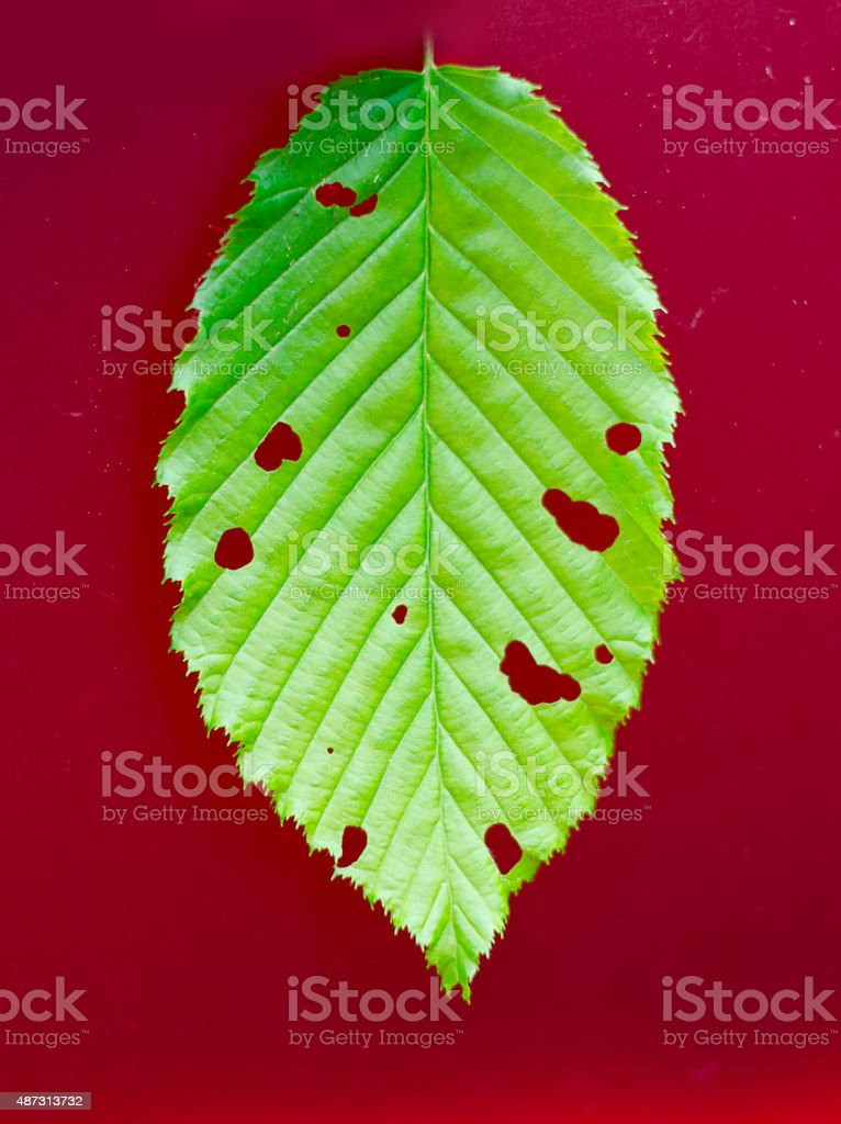 close-up of green leaf with holes on red background stock photo