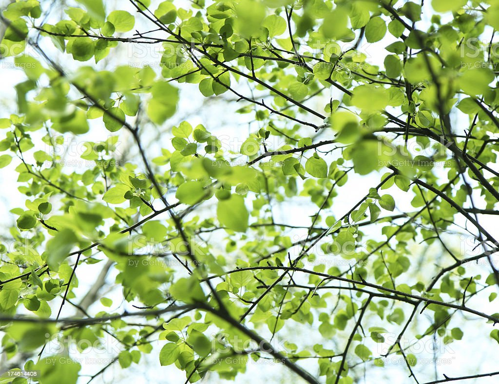 Close-up of green leaves on branches in front of the sky royalty-free stock photo