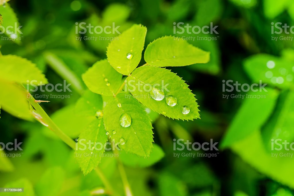 closeup of green leaves rose with raindrops in nature stock photo