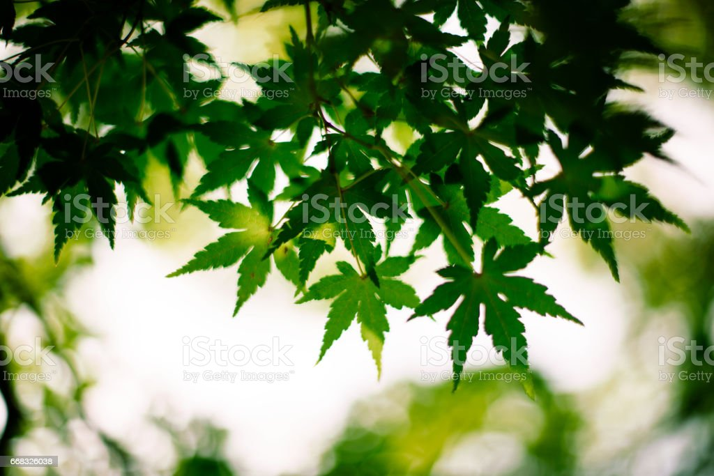 Closeup of green maple leaves stock photo