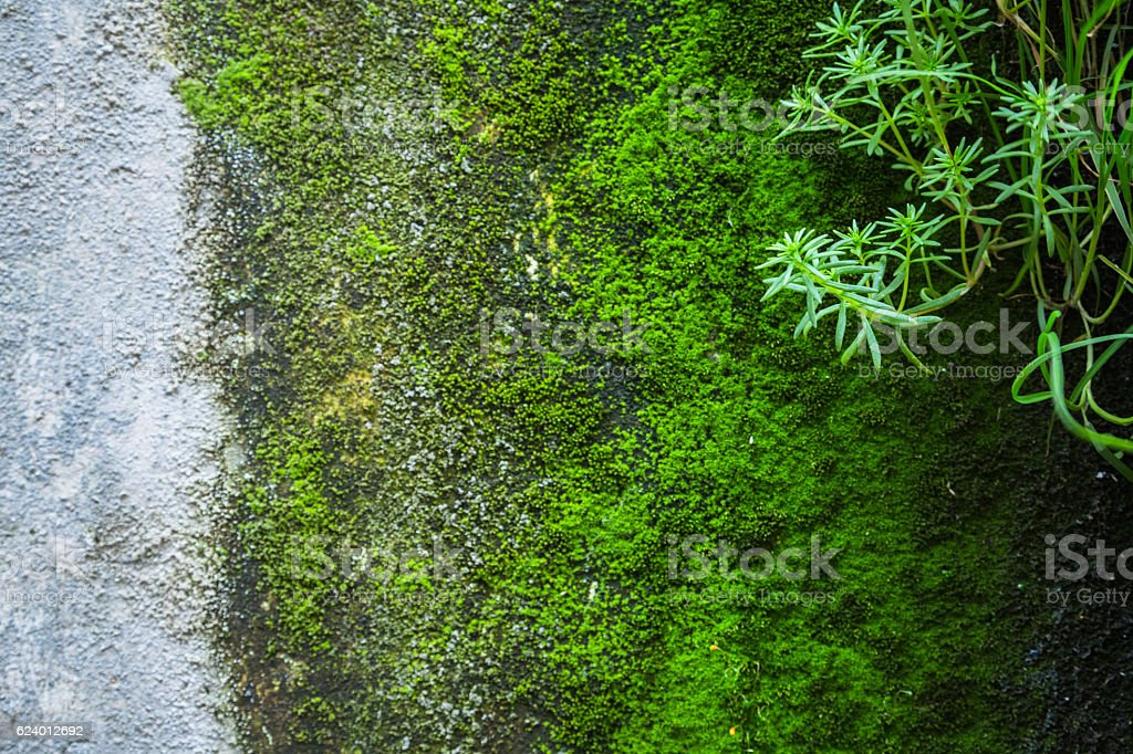 close-up of green moss on old wall stock photo