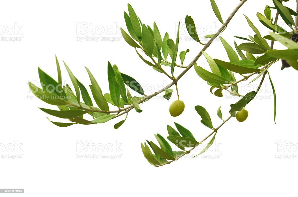 Close-up of green olives hanging on branches stock photo