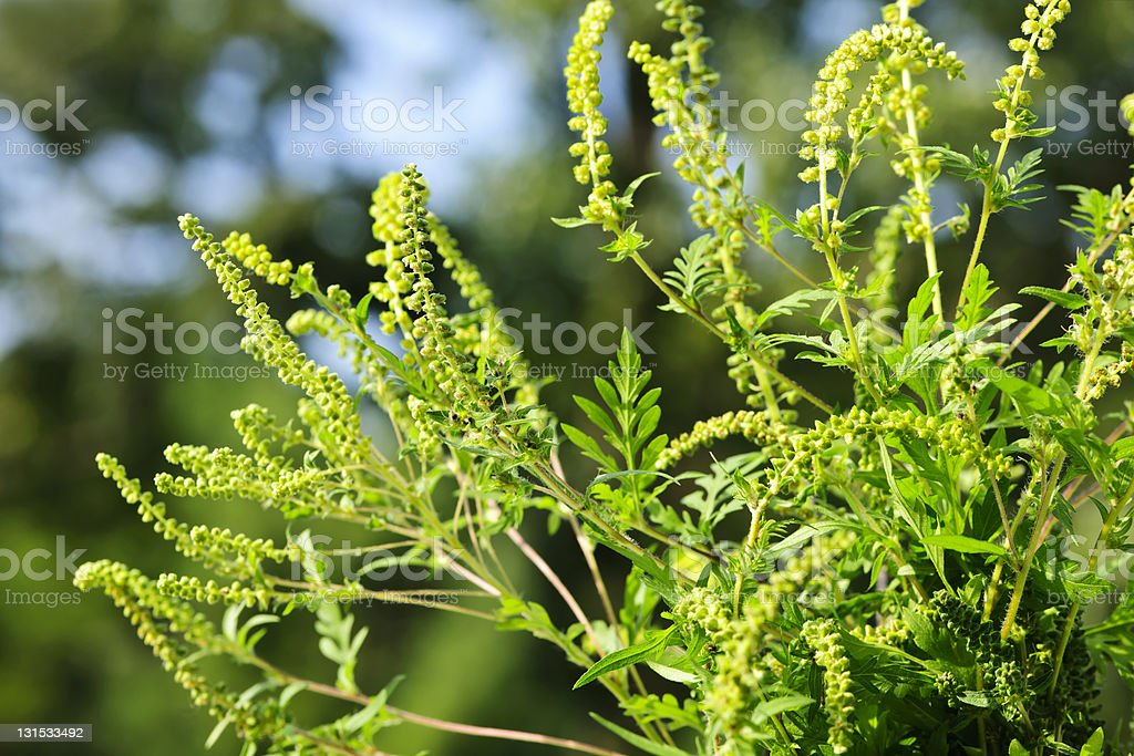 Close-up of green pollen on ragweed plant stock photo