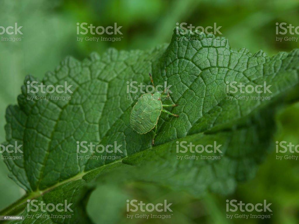 Close-Up Of Green Shield Bug Or Palomena Prasina Camouflaged On Leaf stock photo