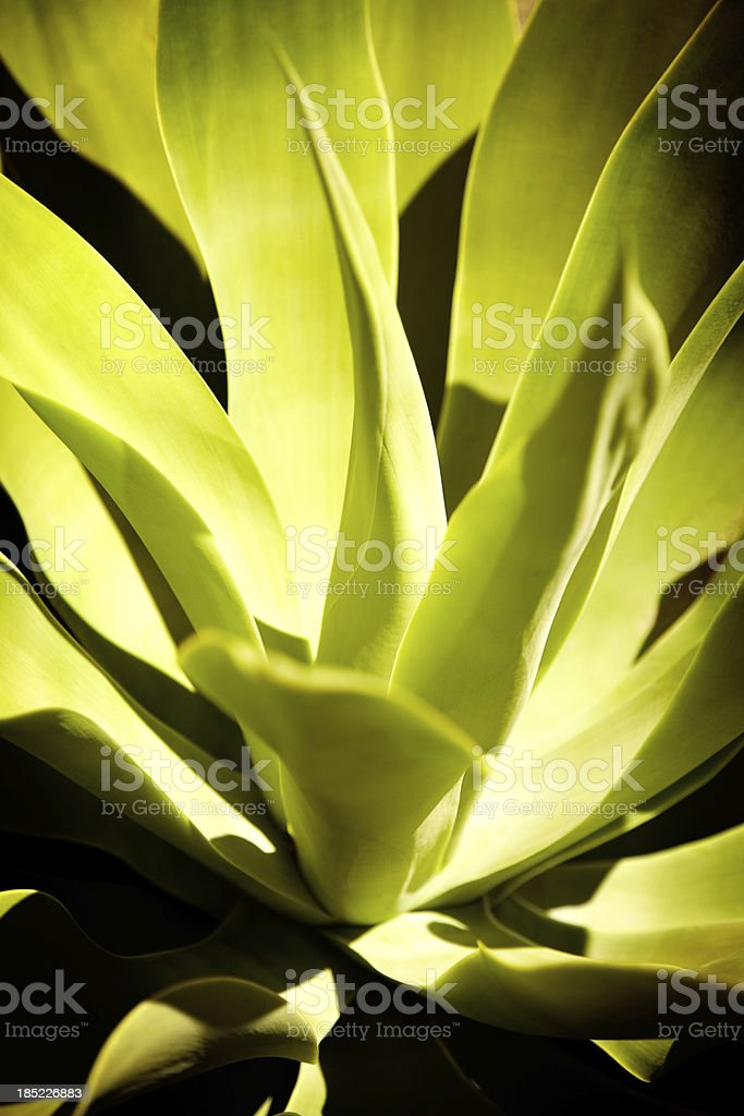 Close-up of green succulent plant royalty-free stock photo