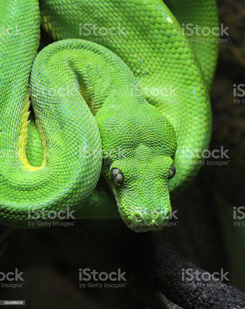 Close-up of green tree python stock photo