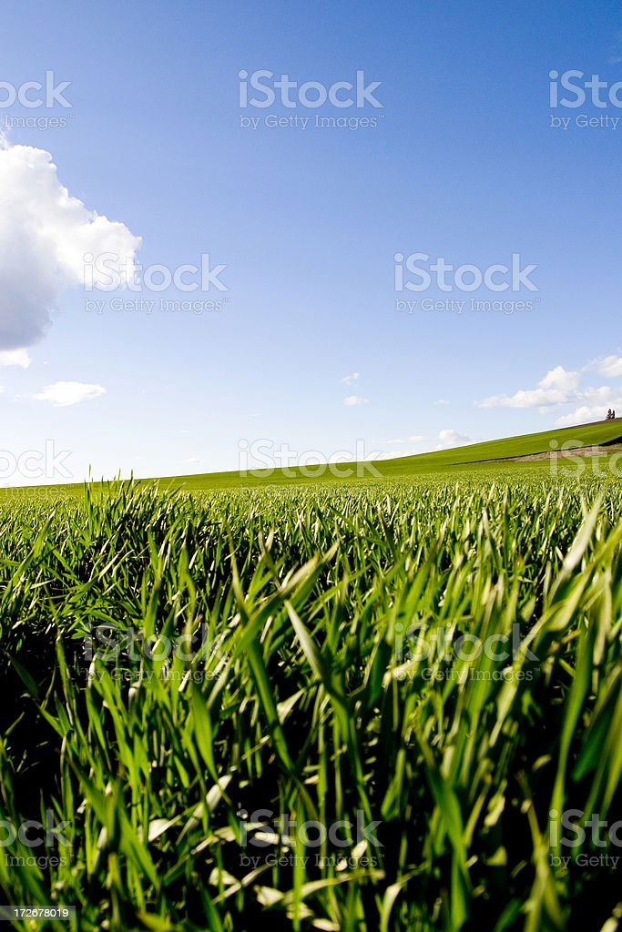 Closeup of green wheat field 2 royalty-free stock photo