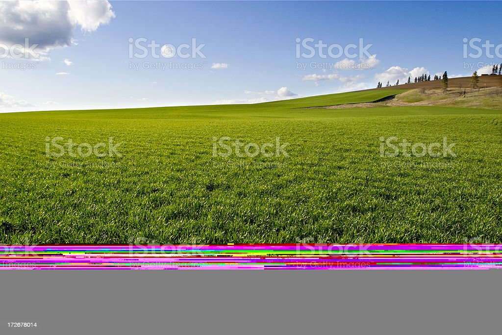 Closeup of green wheat field royalty-free stock photo