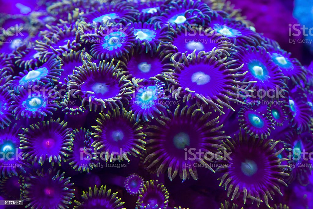 Close-up of group of violet reef coral royalty-free stock photo