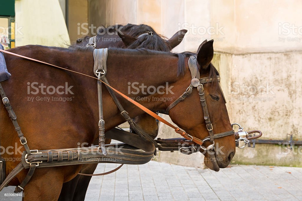 Closeup of Gypsy Horse with horse drawn carriage straps on stock photo