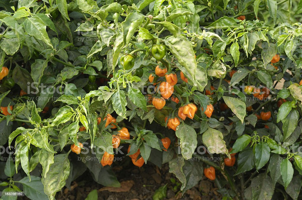 Close-up of Habanero Chili Peppers Ripening on Plant stock photo