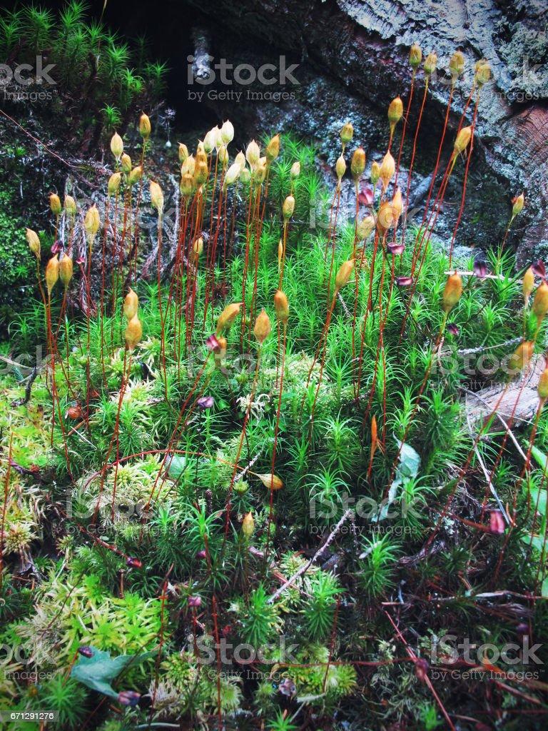close-up of haircap moss. stock photo