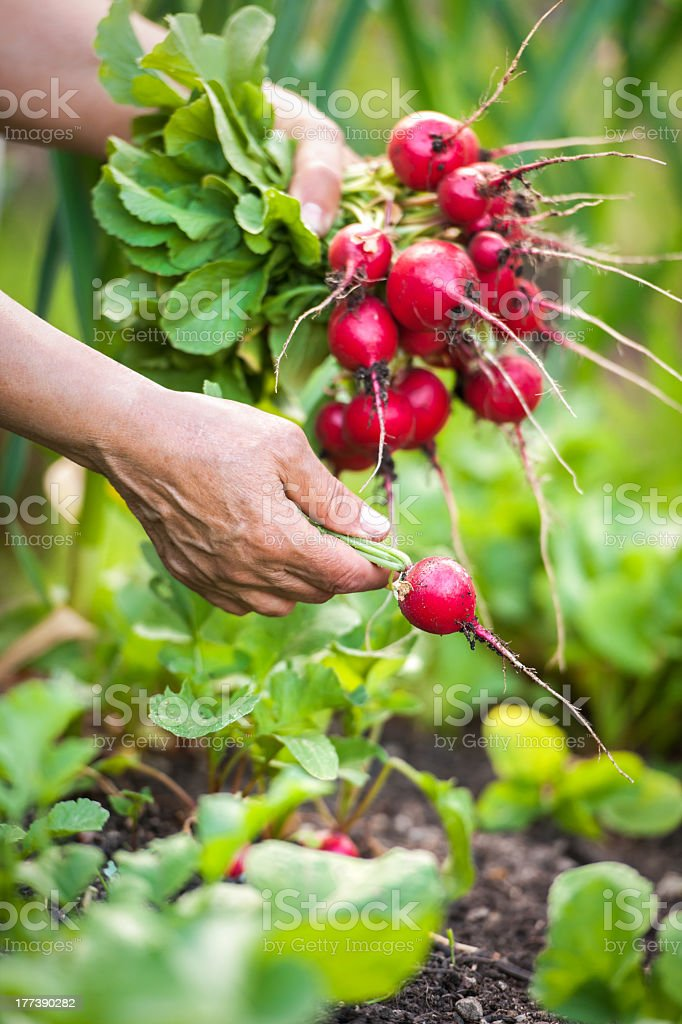 Close-up of hand picking radishes from the earth stock photo