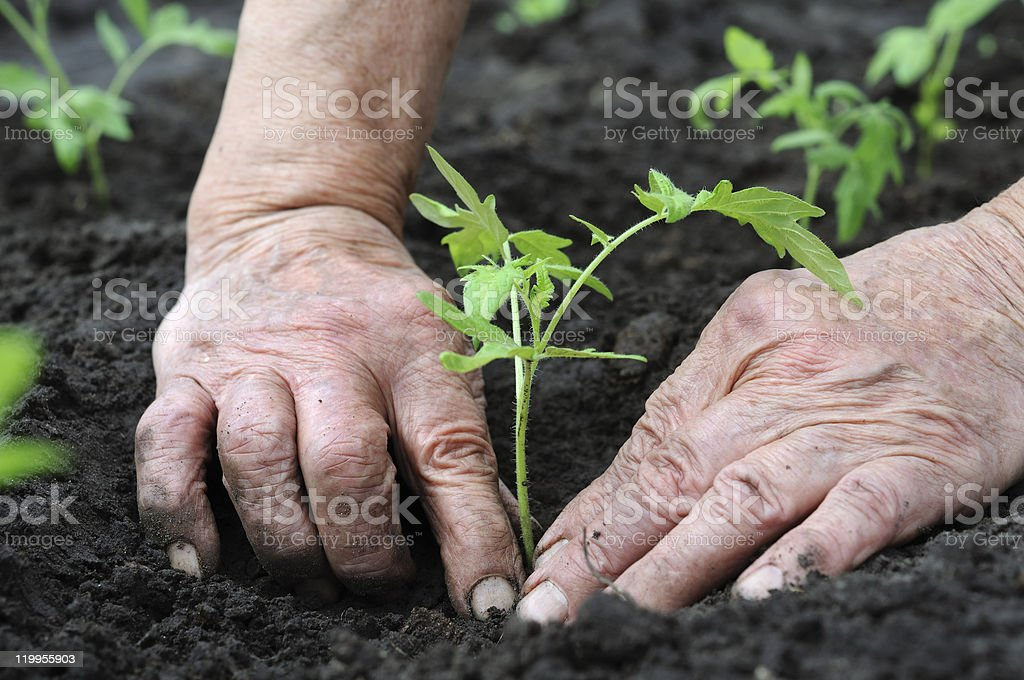 Close-up of hands planting a tomato seedling in damp earth stock photo