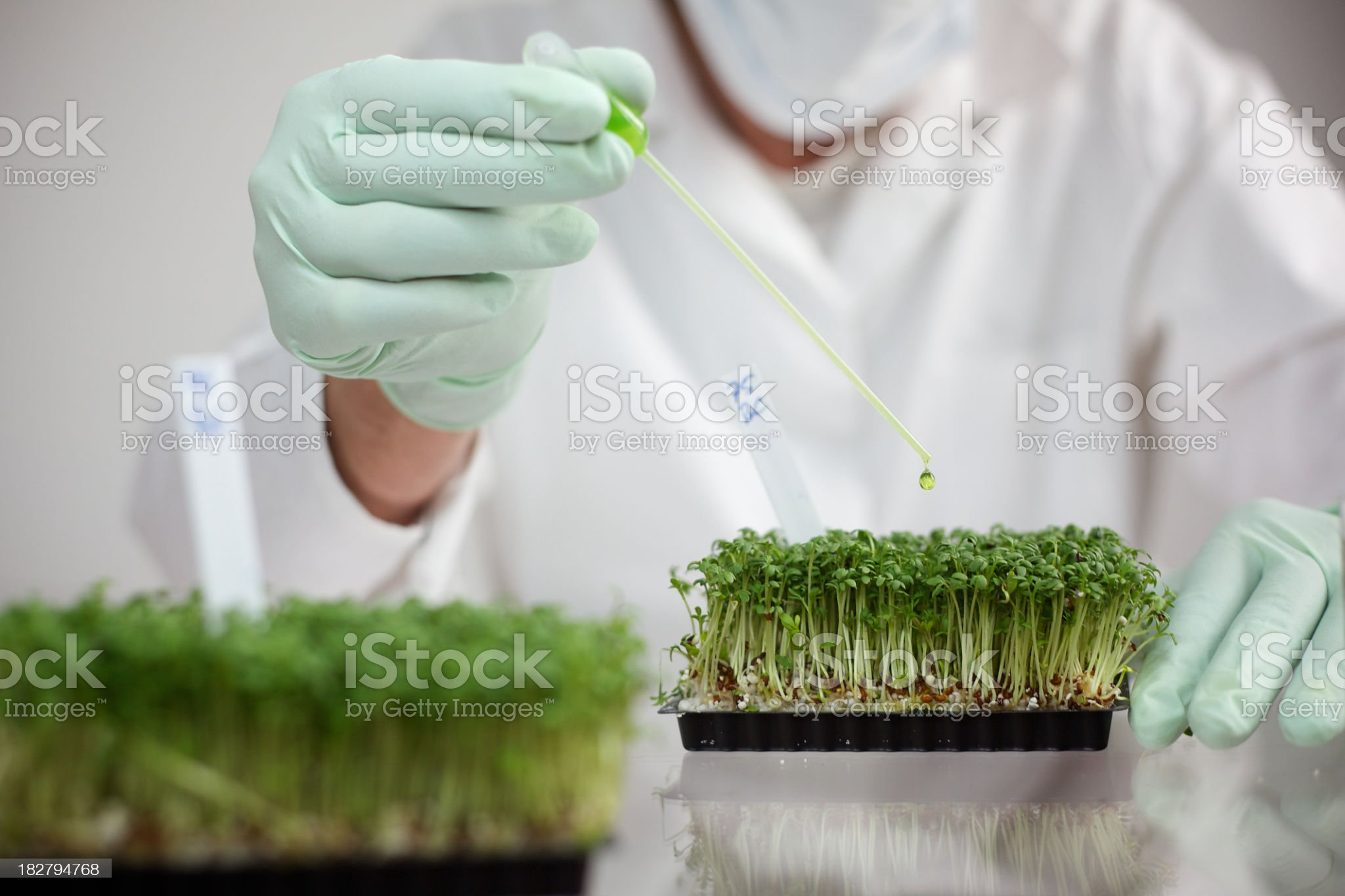 close-up of hands with pipette above cress, Scientific Experiment with food royalty-free stock photo