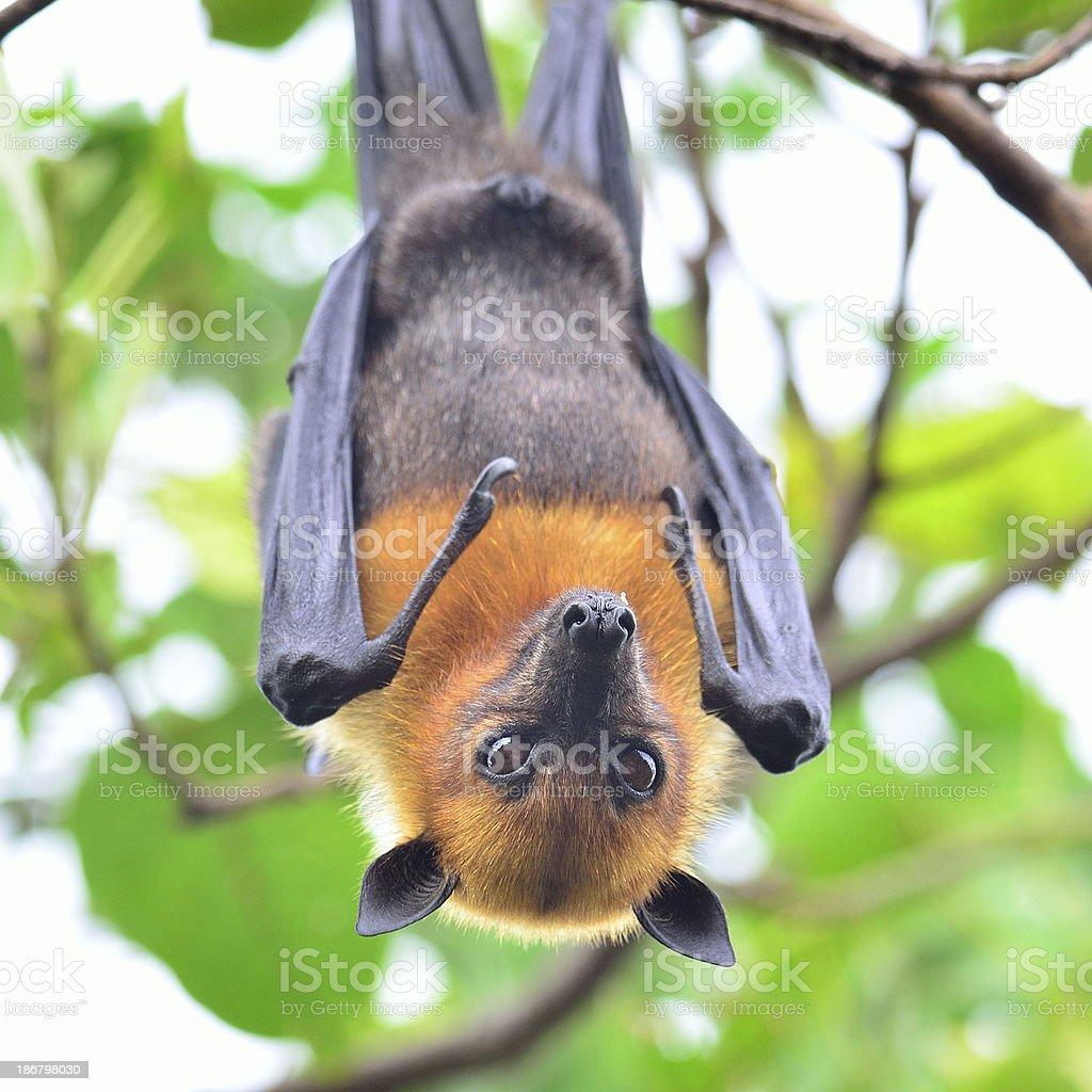 Closeup of Hanging flying fox, a big bat stock photo