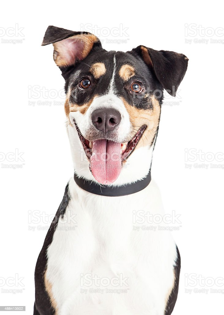 Closeup of Happy Crossbreed Dog Mouth Open stock photo