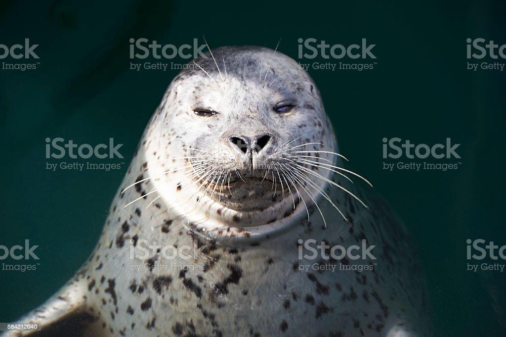 Close-up of Harbor Seal looking at camera stock photo