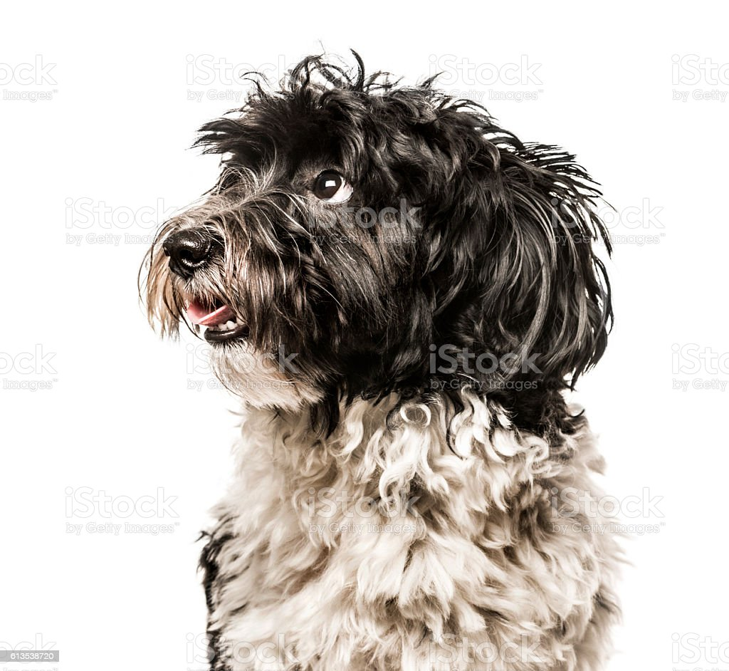 Close-up of Havanese looking away from camera, isolated on white stock photo