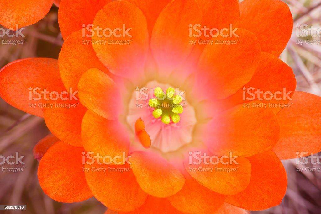 Closeup of Hedgehog Cactus Blossom stock photo