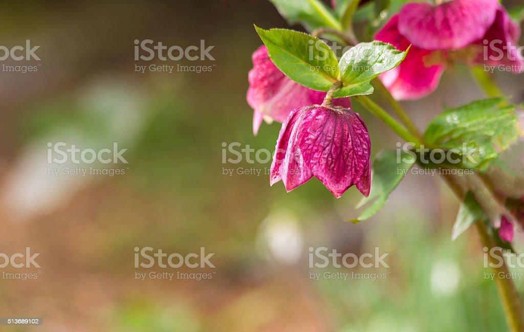 Closeup of Hellebore Flower Beginning to Bloom stock photo
