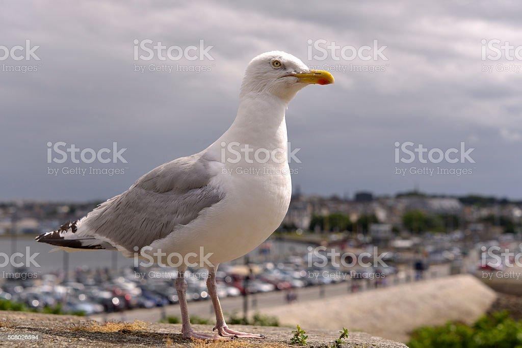 Closeup of Herring gull stock photo
