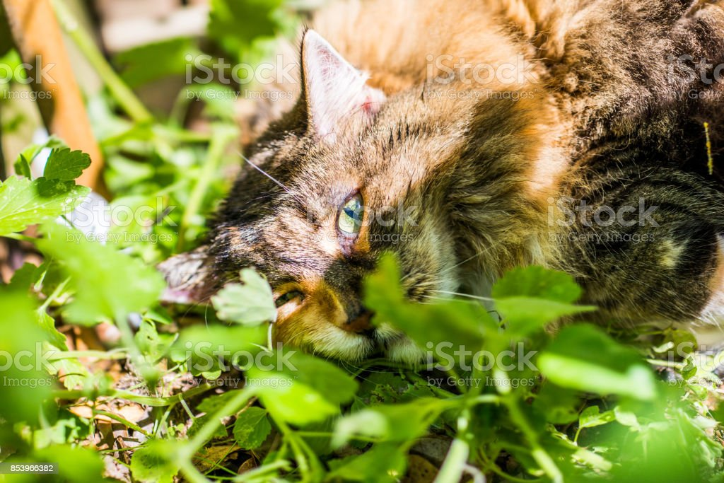Closeup of high calico maine coon cat lying in bed of catnip greens plant in outdoor home garden stock photo