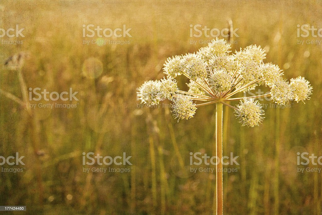 Closeup of hogweed with painterly textured editing stock photo