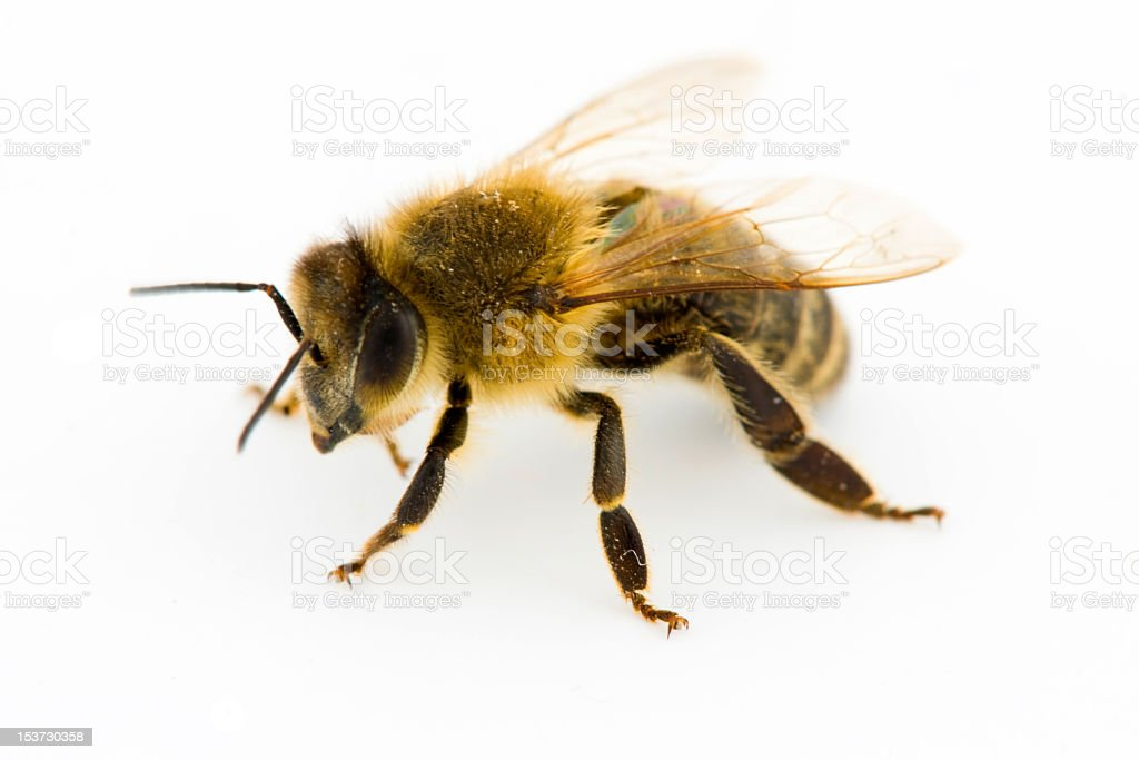 Close-up of honeybee on a white background stock photo