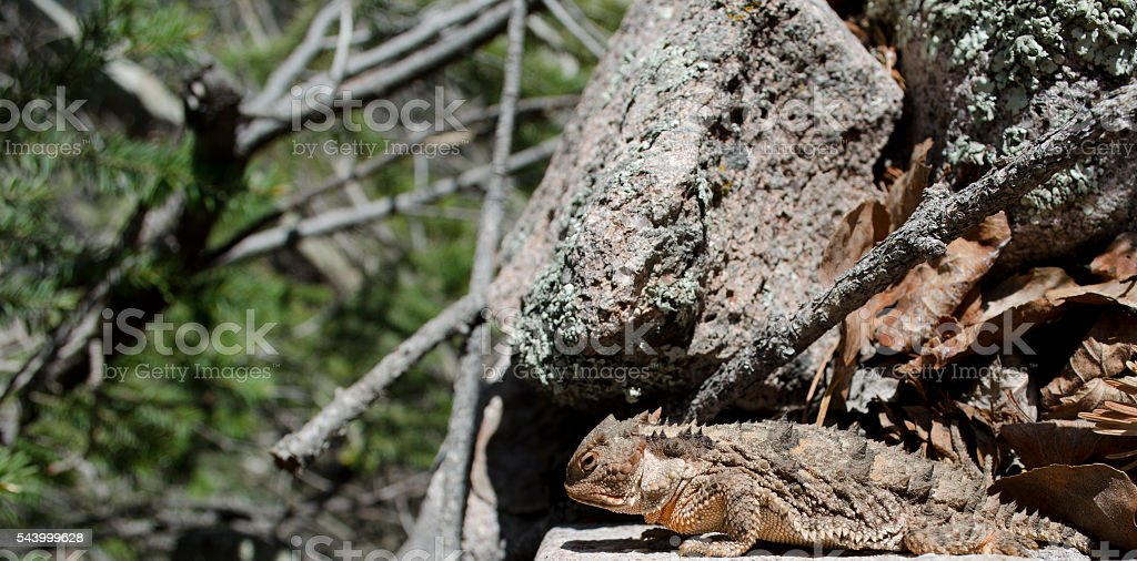 Closeup of Horned 'Toad' In Natural Environment stock photo