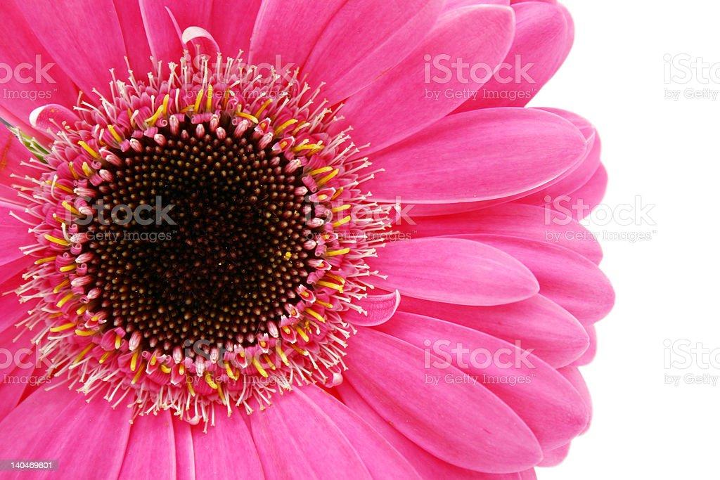 close-up of hot pink gerbera daisy royalty-free stock photo