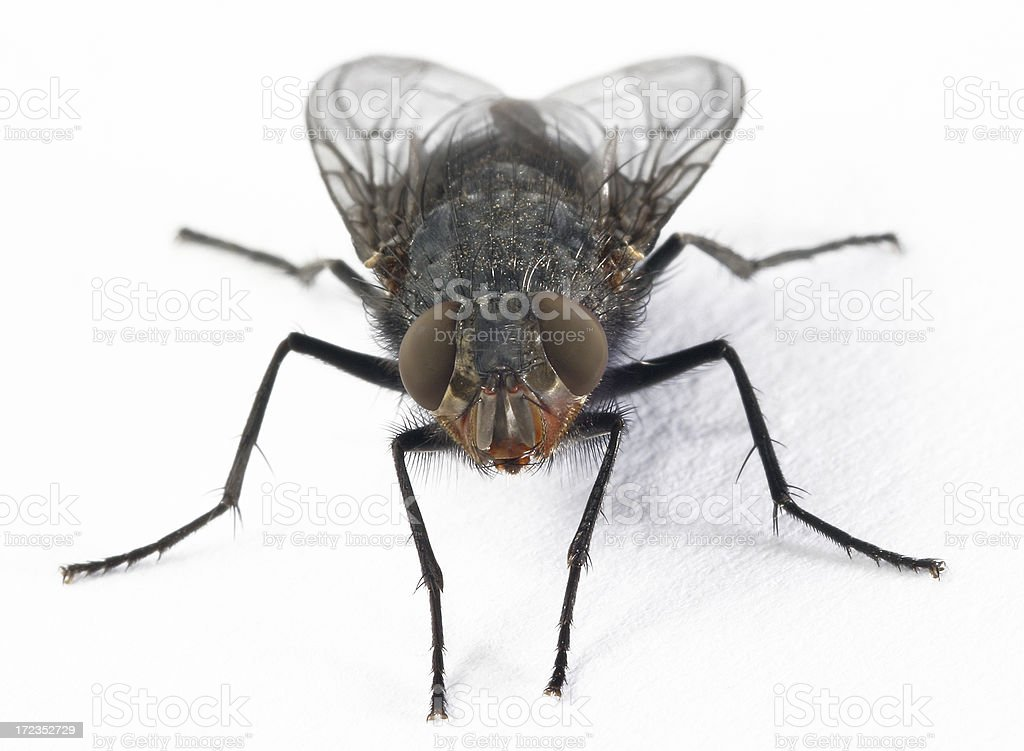 Closeup of housefly on white surface stock photo
