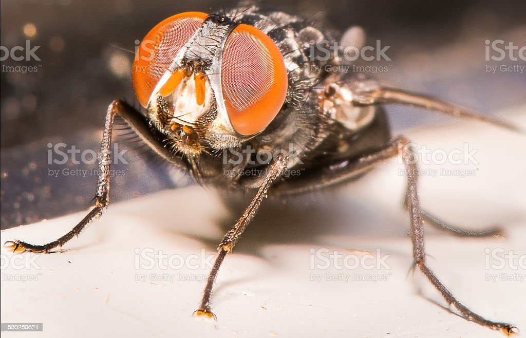 Closeup Of Huge Orange Eyes of Common House Fly stock photo
