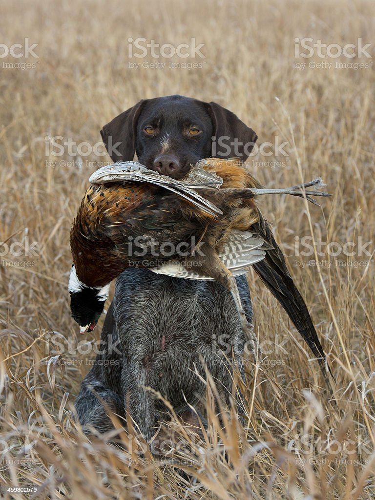 Close-up of hunting dog with dead bird in mouth stock photo
