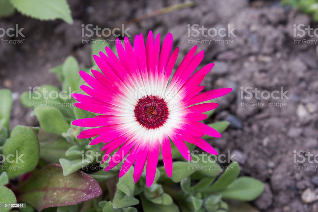 Close-up of ice plants in a garden stock photo