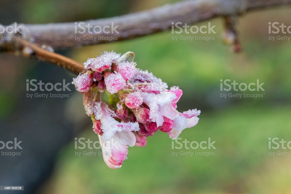 Closeup of Icy Pink Flowers in Winter stock photo