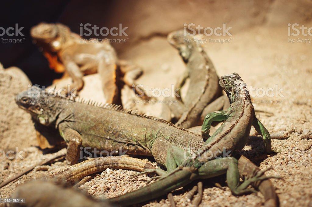 Close-up of iguana lizard stock photo