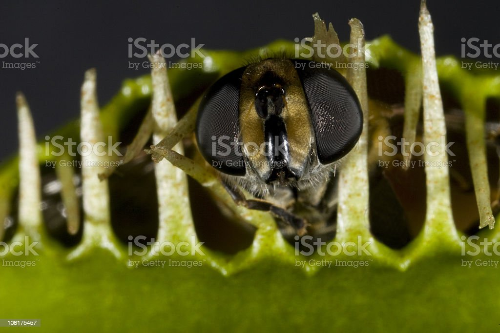 Close-up of Insect Caught in Venus Fly Trap royalty-free stock photo