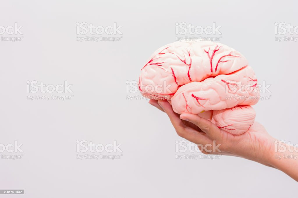 Close-up of Internal organs dummy on white background. Human anatomy model. Anatomy of the Brain. stock photo