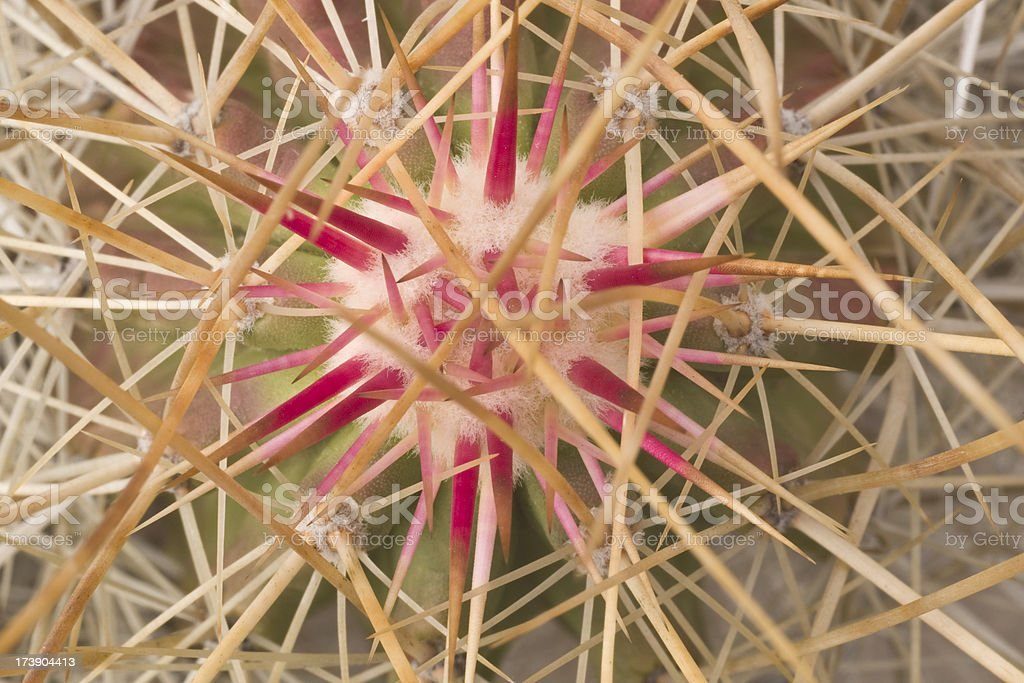 Close-up of Intricately Woven Cactus Thorns royalty-free stock photo