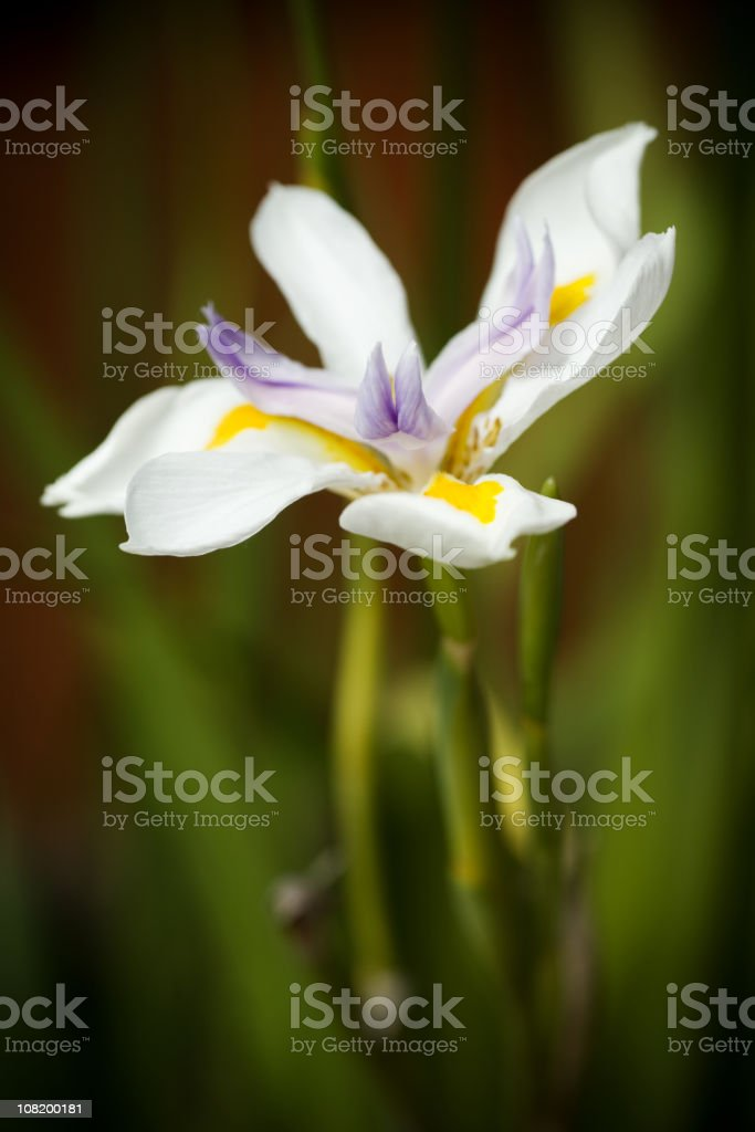 Close-Up of Iris Flower Opened royalty-free stock photo