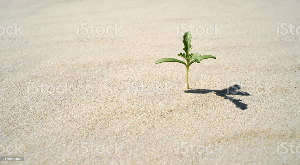 Close-up of isolated green plant growing in the sand royalty-free stock photo