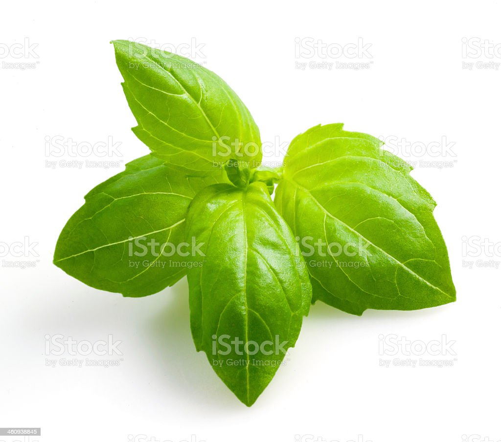Closeup of isolated sprig of basil on white background stock photo