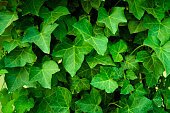 Closeup of ivy plant leaves. Wall covered by leaf