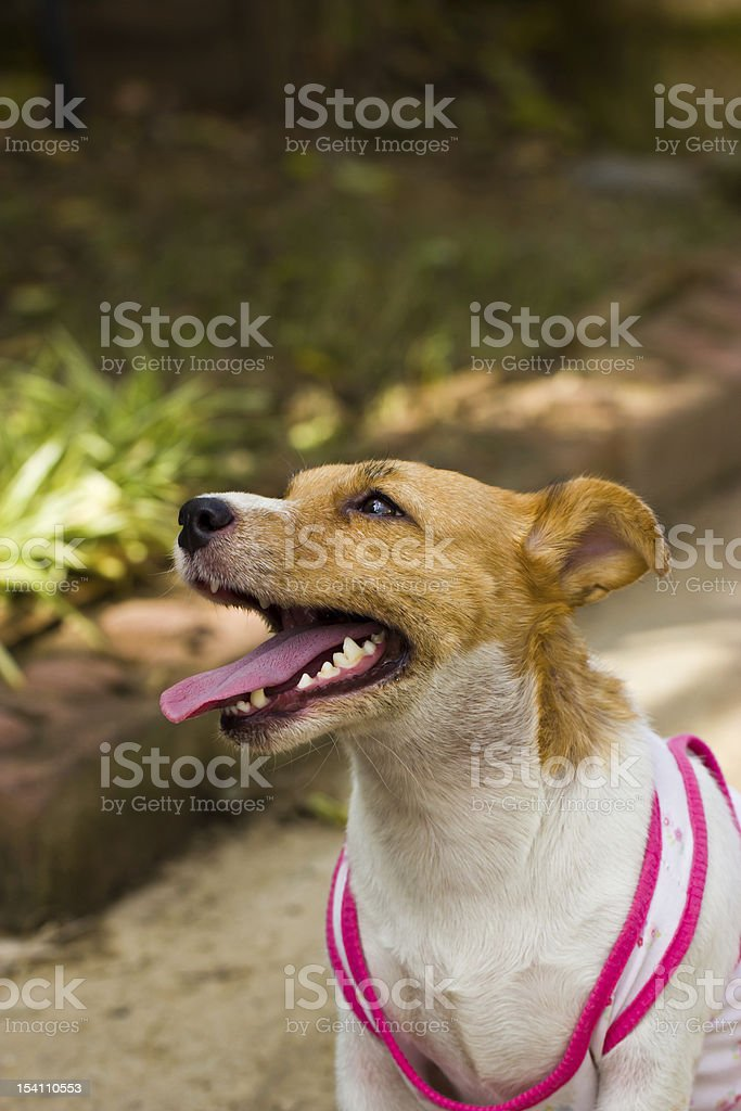 Close-up of Jack Russell , 2 year old royalty-free stock photo