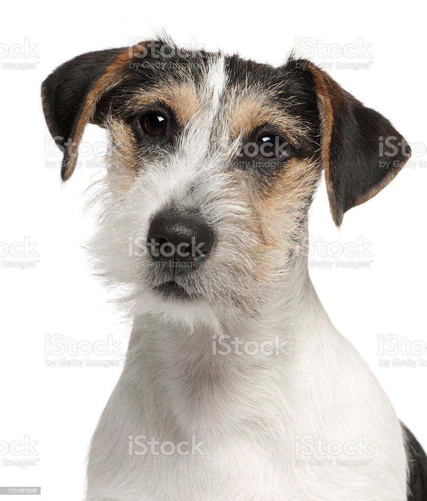 Close-up of Jack Russell Terrier puppy, white background. stock photo