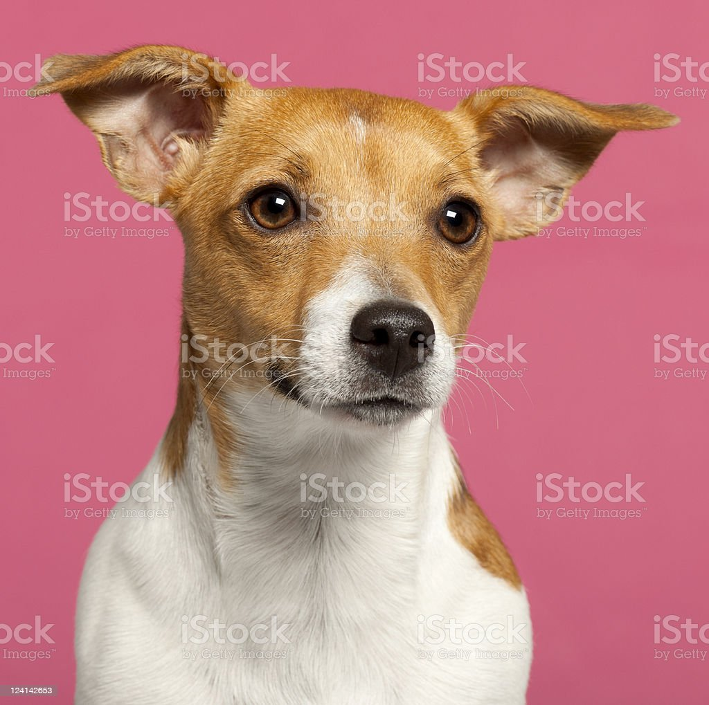 Close-up of Jack Russell Terrier, ten months old, pink background. stock photo