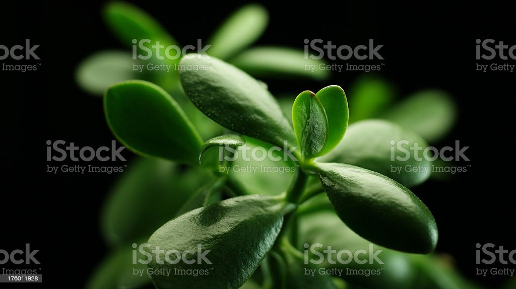 Close-up Of Jade Plant On Black Background stock photo
