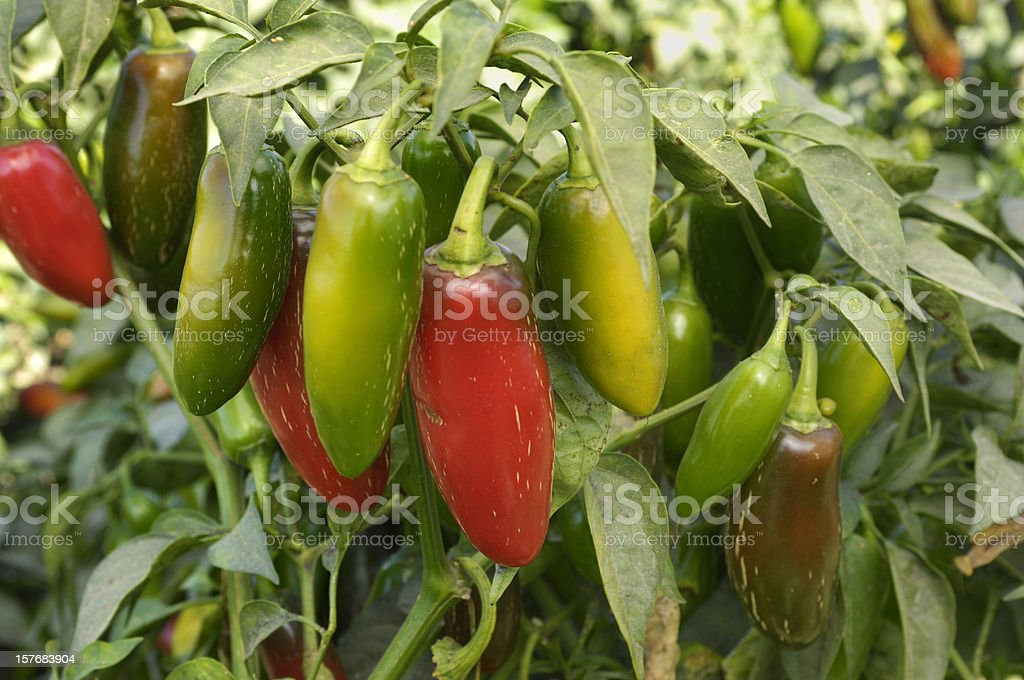 Close-up of Jalapeno Chili Peppers Ripening on Plant stock photo