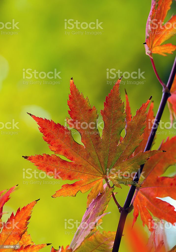 Closeup of Japanese Maple tree leaves stock photo